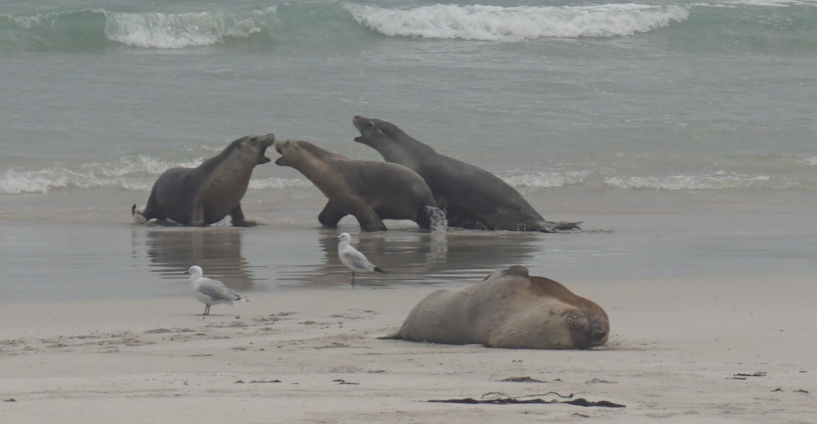 Sea lions fighting